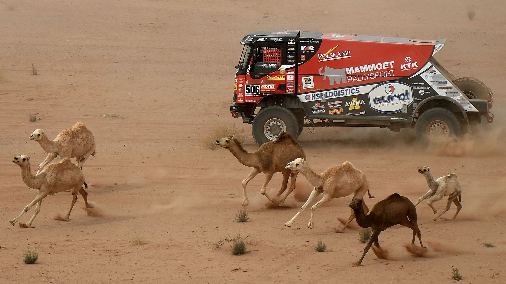 Camels run by as Dutch Renault's trucker Martin Van Den Brink, co-driver Wouter de Graaf and Czech's Daniel Kozlovsky compete during the Stage 10 of the Dakar Rally 2021 between Neom and Alula in Saudi Arabia, on January 13, 2021.